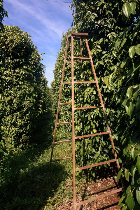 Pfefferpflanzen mit Leiter zur Ernte